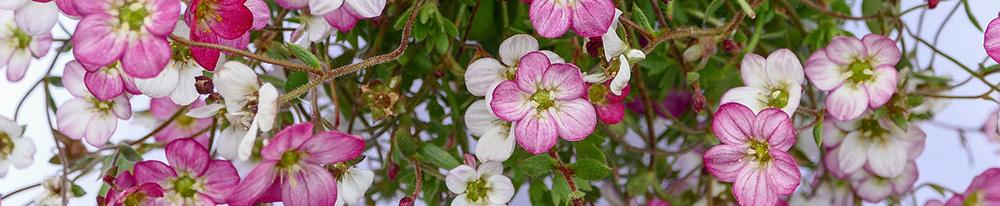 Saxifrage planter terre jardin intérieur saison soleil Blog Delbard