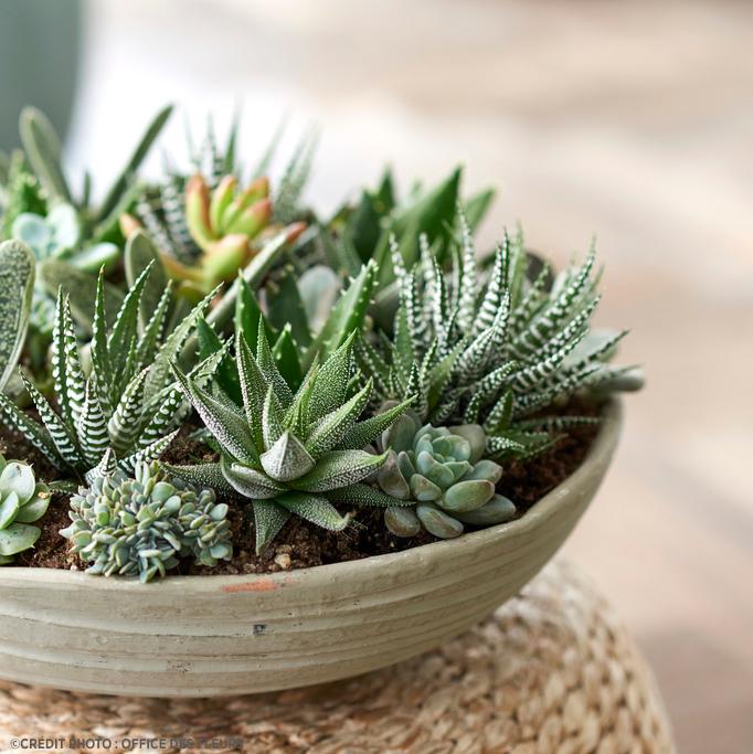 Succulentes Delbard