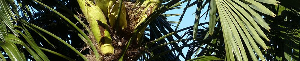 Palmiers extérieur plantation jardin conseils Blog Delbard