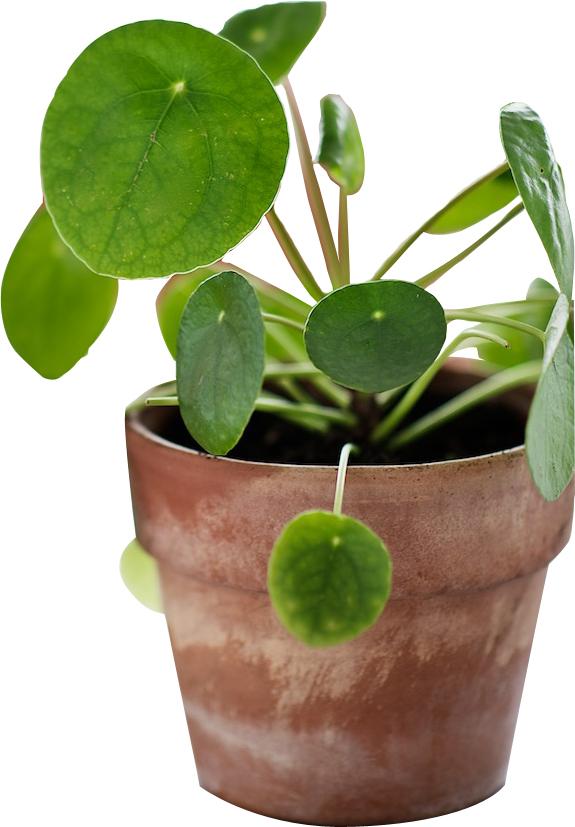 piléa-jardin-blog-delbard-conseils-plante