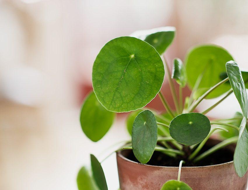 Piléa-blog-delbard-jardin-plante-intérieur-entretien