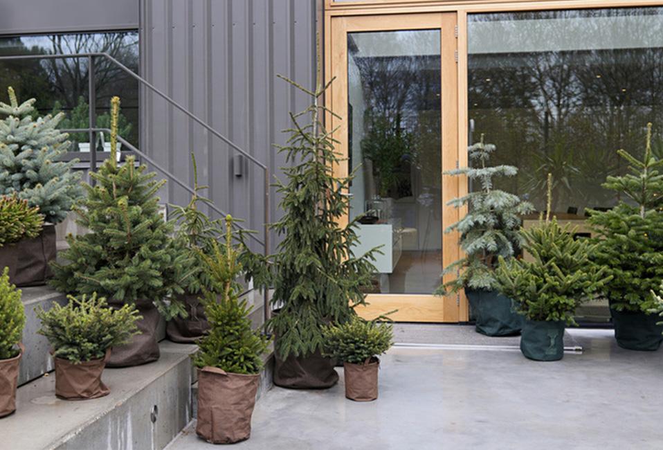 pins-festifs-sapins-decoration-plantes-jardin-terrasse-conseils-blog-delbard