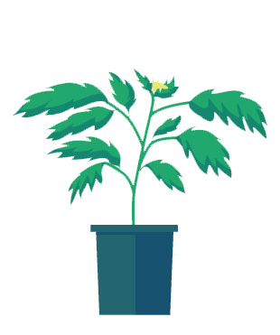 plante-tomate-jardin-delbard-moustique