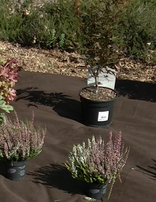 plantes massif érable du japon jardin arrosage étapes trou paillage Blog Delbard