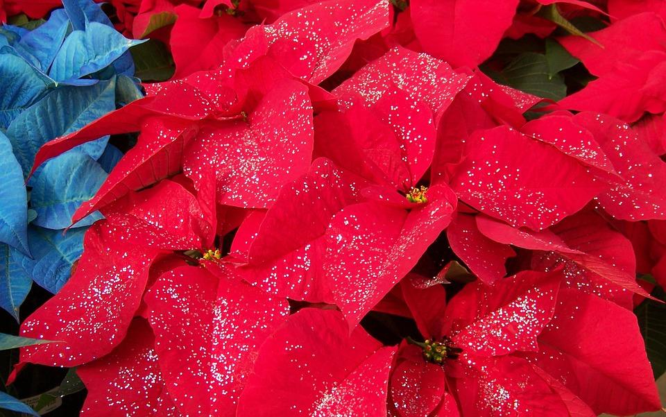 poinsettia-blog-delbard-jardin-décembre-plante
