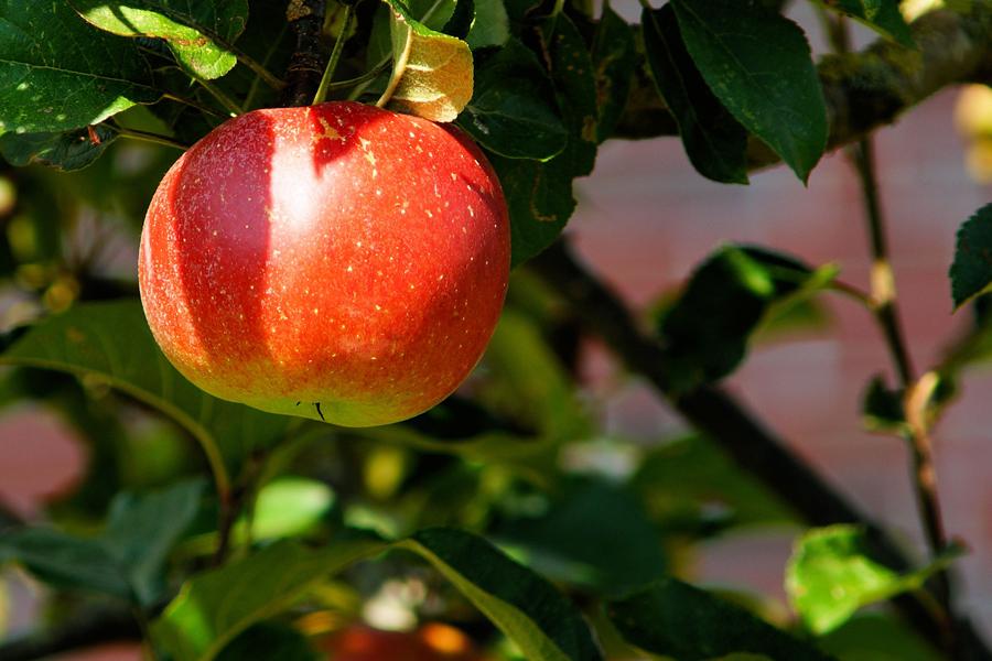fruitier novembre pomme