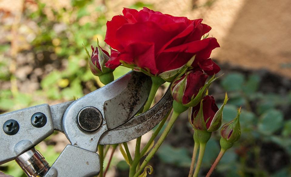 jardin travaux rosiers blog delbard