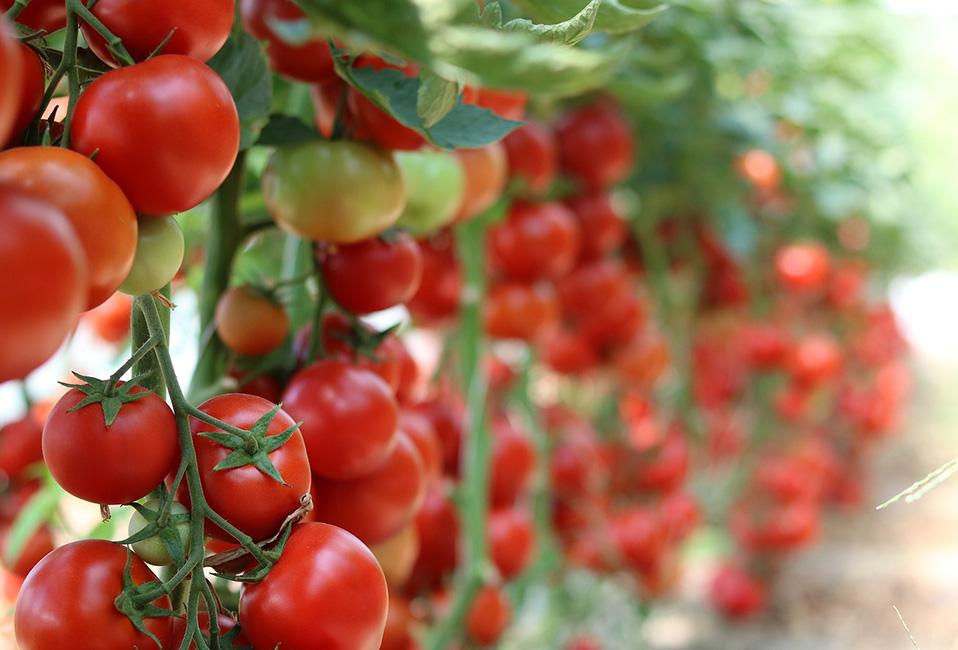 tomate jardin conseils tuto entretien plantation blog delbard