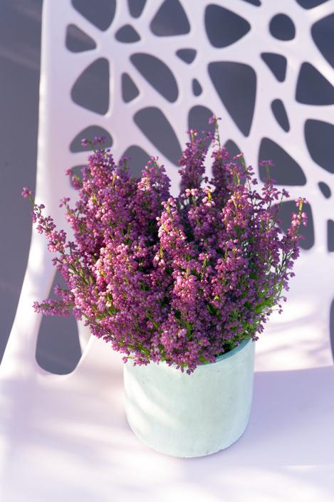 bruyère plante entretien plantation jardin terreau astuces Blog Delbard