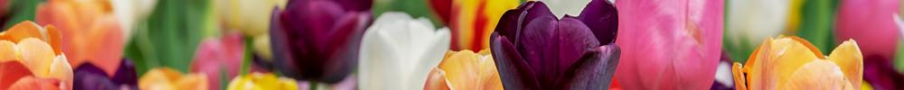 delbard blog jardin tulipes fleurs