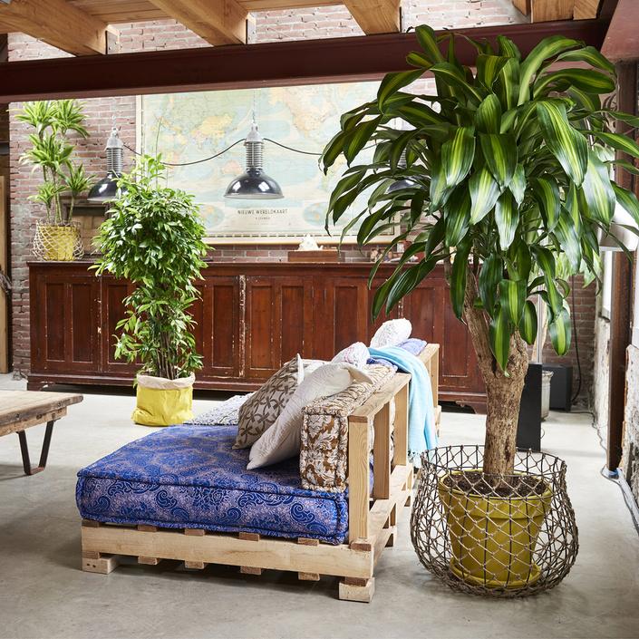 dracaena-blog-delbard-jardin-plante-verte-intérieur