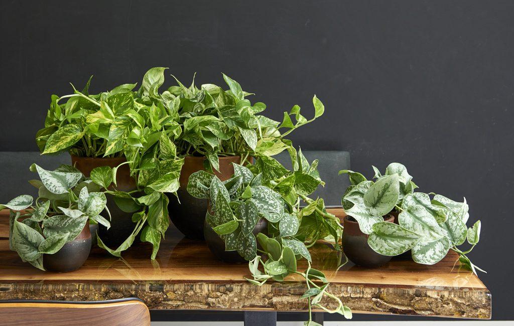 Conseils plante verte scindapsus ete