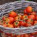 Tomates, comment les faire mûrir plus vite ?